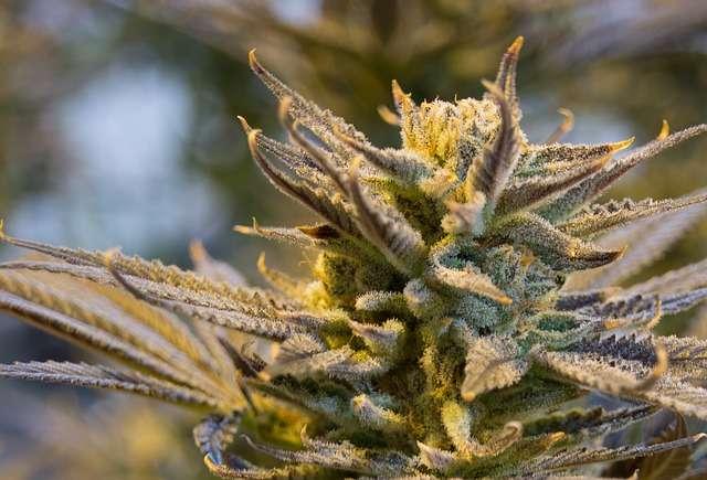 cannabis-2152602_640.jpg