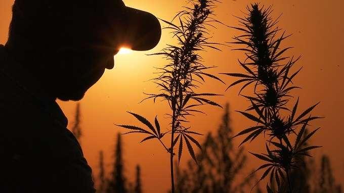 Farmer And Cannabis Plants