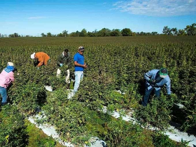 Hemp Harvesting Operation