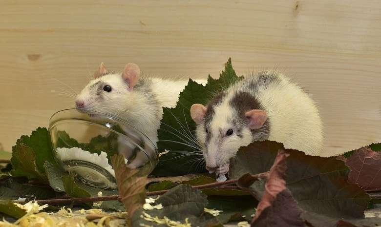 rats on THC